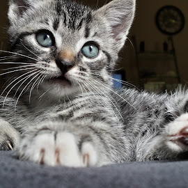 Sliver by Brittany Rae - Animals - Cats Kittens ( kitten, family )