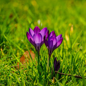 Crocus by Avtar Singh - Flowers Flowers in the Wild ( crocus, standing with pride # violet colour #shadow on petals #dry leaf in backgound# bokeh background #avtar singh )