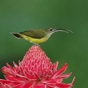 Spiderhunter on flower by Ken Goh - Animals Birds