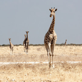 A group of five by John Phielix - Animals Other Mammals ( etosha, dry, giraffe, bush, hot, arid, africa, namibia )