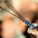 Blue Argia Damselfly
