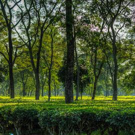 Beauty of Tea Garden by Rajib Chatterjee - Landscapes Travel