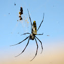 Madagascar golden orb spider