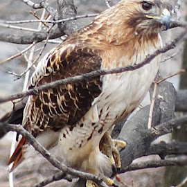 Red tail Hawk . Making a nest  by Sandy Love - Novices Only Wildlife ( bird cat dog foot next owl ufo )