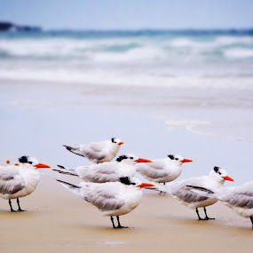 Early morning cotillion of Terns by Lisa Ehrlich - Animals Birds (  )