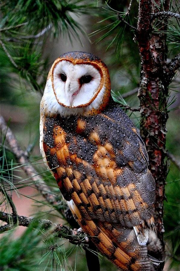 Barn Owl, Carolina Raptor Center by Roy Walter - Animals Birds ( bird, captivity, barn owl, owl, raptor,  )