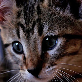 by Darlene Stewart - Animals - Cats Kittens
