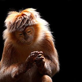 by John Larson - Animals Other Mammals ( animal, monkey )