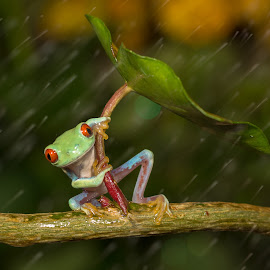 Ohh no :( It's Raining  by Kutub Macro-man - Animals Amphibians ( macro, wild life, nature, rain, close-up, animal,  )