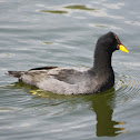 Tagua de Frente Roja / Red-fronted Coot