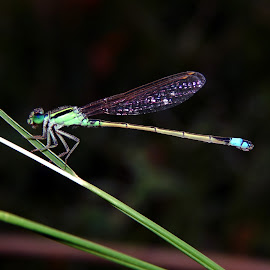 Damsfly by Mukesh Mishra - Novices Only Macro ( damsfly photography macro background surat,  )
