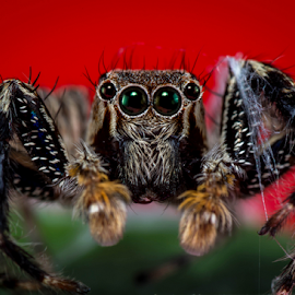 Jumping Spider # 20 by Dave Lerio - Animals Insects & Spiders