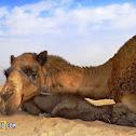 Dromedary (Arabian camel)