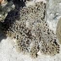 Pearl bubble coral
