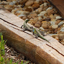 Rainbow Whiptails courting