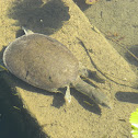 Black Spiny Softshell Turtle, Cuatro Cienegas black turtle