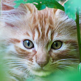 Hidden by Susan Farris - Animals - Cats Kittens ( cat, kitten, hiding, whiskers, feline, leaves, tan, eyes )