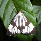 Marbled White Moth