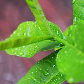 Water drops by Bibha Barssha Mohanty - Nature Up Close Leaves & Grasses (  )