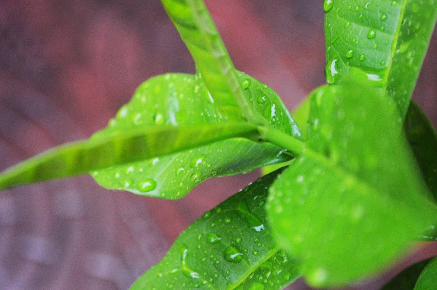 Water drops by Bibha Barssha Mohanty - Nature Up Close Leaves & Grasses (  )