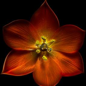 Orange by Dbart ... - Flowers Single Flower ( macro, lily, nature, color, vivid, vibrant, close-up,  )