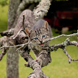 I'll bite you..  by Arthie Beighle - Animals - Cats Kittens ( playing, cats, animals, kittens,  )