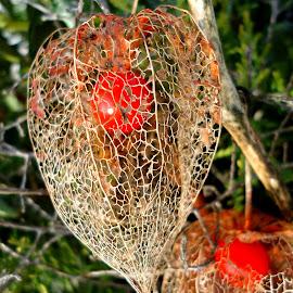 Fizalis by Gordana Cajner - Nature Up Close Gardens & Produce