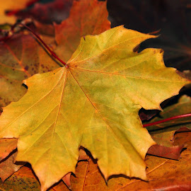 Autumn's Gold by Janet Herman - Nature Up Close Leaves & Grasses ( nature, autumn, fall, leaf, leaves, maple )