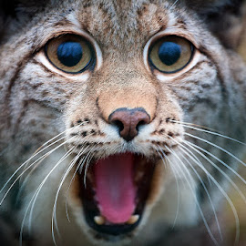:-O by Michael Norbert - Animals Lions, Tigers & Big Cats ( animals, zoo, lynx, luchs, omg, tambach, surprised )