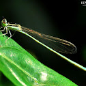 Asian Slim Damselfly
