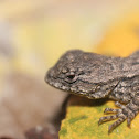 Eastern Fence Lizard (baby)