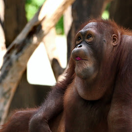 Naughty by Ray Alexander - Animals Other ( face, zoo, funny, action, orangutan, brown, eat, young, primata )