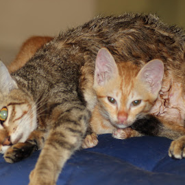 Totoi and Tomba posing for a picture by Dura Zaman - Animals - Cats Kittens ( animals, totoi, tomba, pet, malaysia,  )