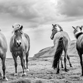 by Oddsteinn Björnsson - Black & White Animals ( hestar,  )