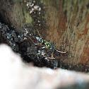 Wasp Mimic Longhorned Beetle