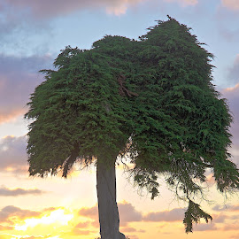 Dr. Seuss tree by Dean Mayo - Landscapes Prairies, Meadows & Fields ( ca, tree, seuss, sunset, lajolla, dean mayo, dr )