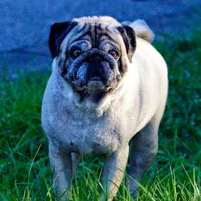 Curious Pug by Sandy Scott - Animals - Dogs Portraits ( mammals, animals, dogs, domestic pets, pets, pug,  )