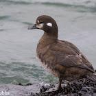 Harlequin Duck (female)