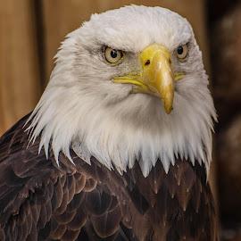 Hypnotic by Garry Chisholm - Animals Birds ( bird, garry chisholm, eagle, nature, wildlife, prey, raptor )