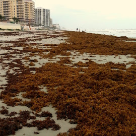 Seaweed Covered Shoreline by Valerie Bombino - Landscapes Beaches ( sandy shoreline, seaweed, shoreline, beach road, beach,  )