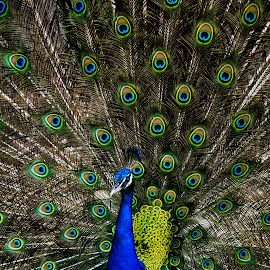 peacock in all splendid by Peter Jerman - Animals Birds ( bird, nature, blue, green, colors, peacock )
