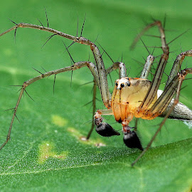 Cat Spider by Lim Andy - Animals Insects & Spiders ( macro, spider, insect )