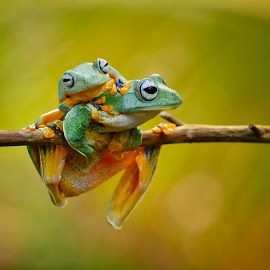 Play with mom by Ais Setiawan - Animals Amphibians ( frogs )