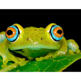 ♥ FROG ♥ by Sattwick Sarkar - Animals Amphibians ( nature, frog, green, beautiful, nice, close up, photography )