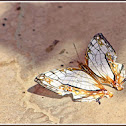 Common Map Butterfly