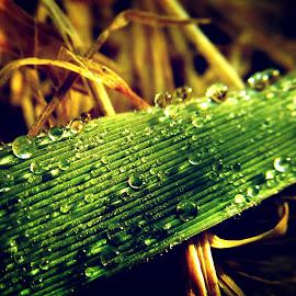 macro drops by Dragan Dvorski - Novices Only Macro ( water drops, macro, nature, novices only, nature up close, water drop )