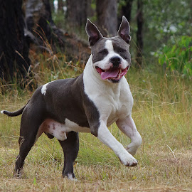 Angus by Kris Pate - Animals - Dogs Running ( american staffordshire bull terrier, male, dog portrait, dogs running, blue & white, fun, playing, american staffordshire terrier, doggy, angus, amstaff, happy, australia, outdoors, tounge, dog playing, dog portraits, smile, dog, boy, outside )