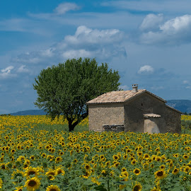 Sunflower III by Igor Debevec - Landscapes Prairies, Meadows & Fields ( provence, sunflower,  )