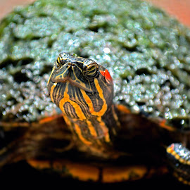 Turdle by 2Arian 2Furious - Animals Reptiles ( pewpy, sweggy, i rike it, so gud, so poop,  )