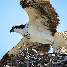 Empty Nest Syndrome by Jared Lantzman - Animals Birds ( bird, flying, bird of prey, wings, nest, feathers, osprey )